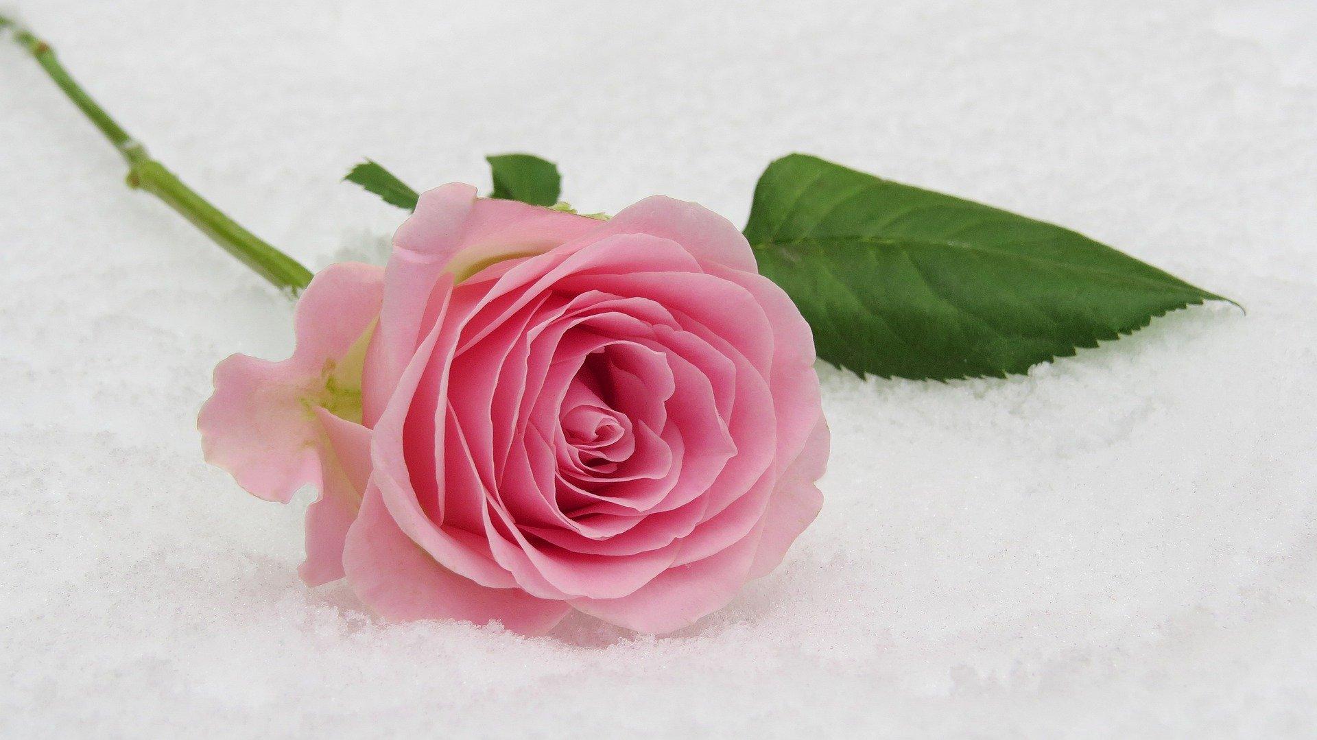 rose éternelle cadeau romantique